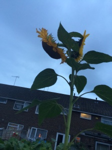 Three headed sunflower